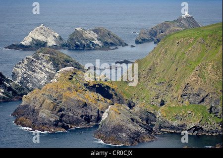 Sea cliffs, Muckle Flugga lighthouse, and breeeding colony of northern gannets (Morus bassanus) at Hermaness NNR, - Stock Image