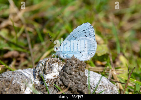 Holly blue butterfly ( Celastrina argiolus) taking nutrients from wild duck feces - Stock Image