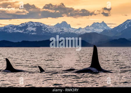 Orca whale (Orcinus orca) pod in Lynn Canal at sunset with Eagle Glacier and Coast Range in the background, Southeast Alaska - Stock Image