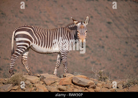 Full body lateral shot of a cape mountain zebra (Equus zebra zebra) standing on rocky outcrop against a blur mountain background - Stock Image