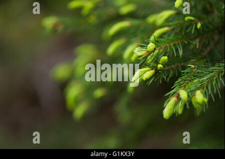 Young shoots on a fir tree - Stock Image