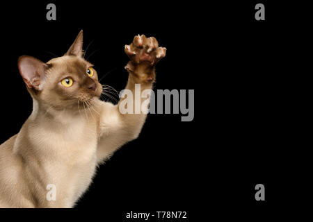 Cute Portrait of Playful Brown Burma Cat Raising up paw, isolated on black background, side view - Stock Image