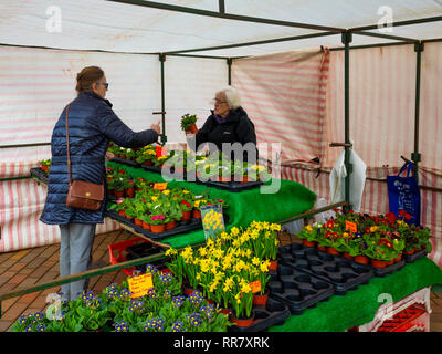 A lady gardener buying Spring Blue Lace  hardy Primula plants at a weekly market flower stall  in  North Yorkshire - Stock Image