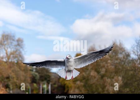 A black headed gull (Chroicocephalus ridibundus) in adult winter plumage flying wings extended - Stock Image