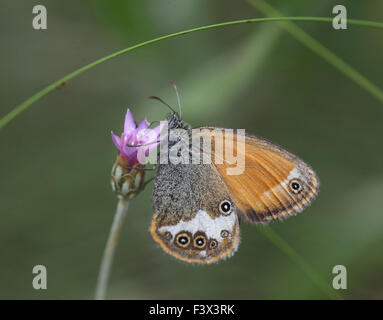 Pearly heath Taking nectar from flower Hungary June 2015 - Stock Image