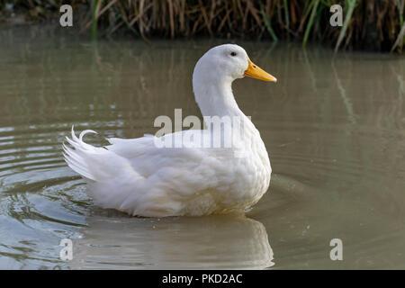 Large white heavy duck also known as America Pekin Duck, Long Island Duck, Pekin Duck, Aylesbury Duck, Anas platyrhynchos domesticus - Stock Image