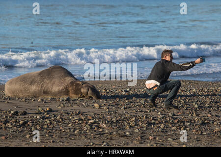 Man taking selfie with huge Elephant seal on beach in central California. the seal is getting a completely different - Stock Image