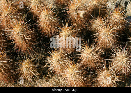 Echinocereus engelmani.  Group of cacti among stones, Mojave Desert, Joshua Tree National Park, California - Stock Image