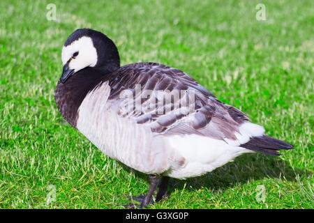 Standing Barnacle Goose - Stock Image