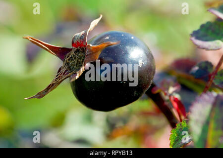 Burnet Rose (rosa pimpinellifolia), close up of the blue/black hip. - Stock Image
