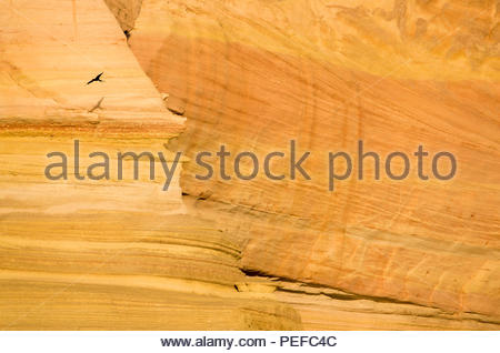 A bird flies at sunrise past sandstone cliffs of Isla San Jose. - Stock Image