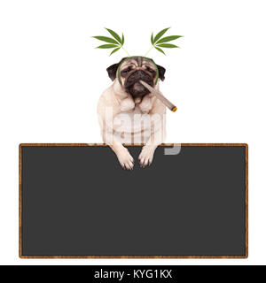 pug puppy dog being high, smoking marijuana weed joint, wearing hemp leaves diadem, hanging on blackboard sign, - Stock Image