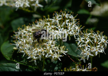 Bumble bee collecting pollen and nectar from a viburnum flower - Stock Image