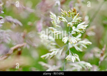 Grass, predominantly Yorkshire Fog (holcus lanatus), shot in flower with low depth of field. - Stock Image