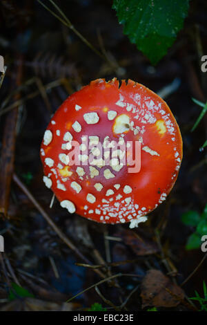 Fly Agaric Fungus - Stock Image