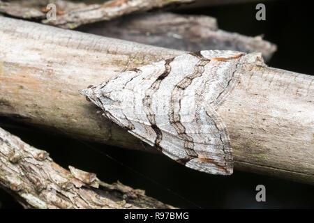 Treble-bar moth (Aplocera plagiata) resting on piece of wood. Tipperary, Ireland - Stock Image