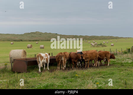 Herd of cows by a feeding trough, with a field of hay-bales in the background. Taken on the outskirts of Newburgh, Aberdeenshire, Scotland, UK - Stock Image