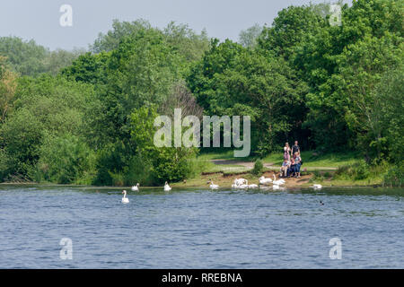 A view across the lake at the Harrold Odell Country Park, Bedfordshire, UK; a group of people feeding the swans on the far bank. - Stock Image