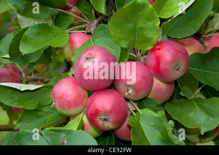 Domestic Apple (Malus domestica), variety: Peach Red Summer Apple. Ripe apples in a tree. - Stock Image