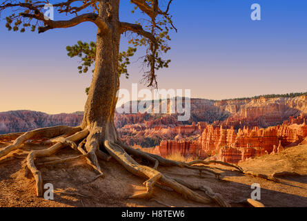 Pine tree gets a grip on the canyon edge. Bryce Canyon National Park, Utah, USA - Stock Image