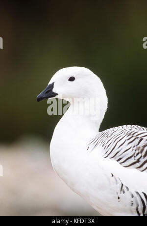 Male Upland Goose, also called Magellan Goose,(Chloephaga picta)-male and female are sexually dimorphic, WWT Reserve,UK - Stock Image