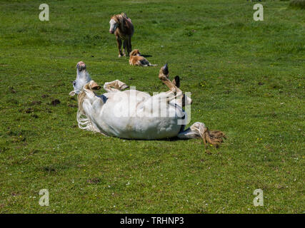 White Horse having a roll on the grass, Llanrhidian marshes, Gower, South Wales - Stock Image