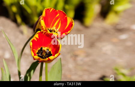 two bright red and yellow tulips outdoor on sunny summer day closeup - Stock Image