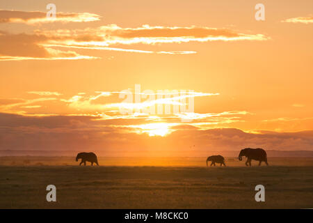 Walking African elephants silhouetted against the setting sun in Amboseli National Park, Kenya - Stock Image