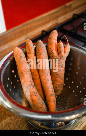 Freshly pulled carrots some in unusual shapes with earth and mud being washed in kitchen sink in a colander - Stock Image