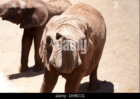 Elephants shot from above with raised trunk - Stock Image