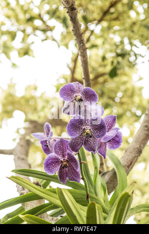 Dendrobium Orchid with Speckled Purple Petals - Stock Image