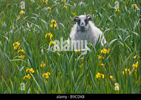 Scottish blackface ewe in iris bed on the Isle of Harris, Outer Hebrides, Scotland. - Stock Image