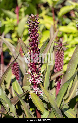 Pinapple Lily plant - Stock Image