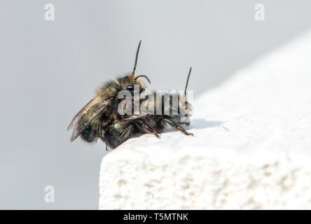 Mason bees (Osmia lignaria) mating - side view - Stock Image