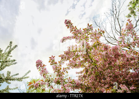 Low angle view of flowering branches against cloudy sky - Stock Image
