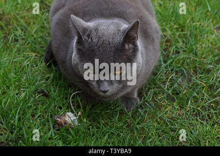Domestic grey short hair cat with a freshly caught dead mouse in the garden - Stock Image