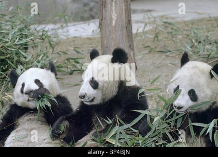 3 captive bred pandas feed on bamboo at Wolong Breeding Centre China - Stock Image