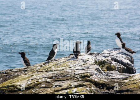 Razorbill; Alca torda; on breeding cliffs on the Farne Islands, Northumberland, UK. - Stock Image