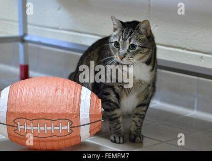 Wantagh, New York, USA. 7th February 2016. Tabby cat ALEXANDER, the Mayor of Last Hope Rescue, looks at a football - Stock Image