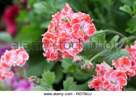 Pelargonium 'Joy' flowers. - Stock Image