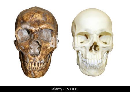 Neanderthal Skull vs Modern Human Homo sapiens - Stock Image