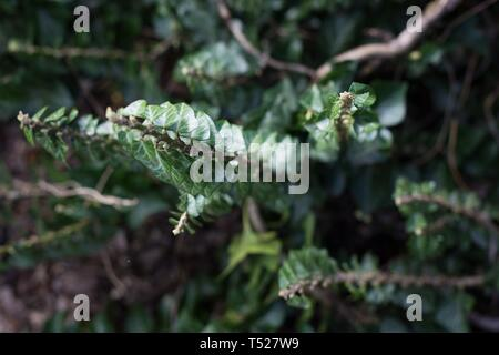 English ivy - Hedera Helix Congesta - at the Oregon Garden in Silverton, Oregon, USA. - Stock Image