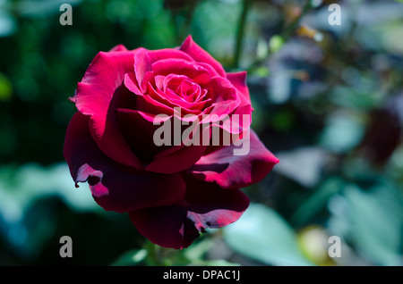 A perfect red rose in an English Garden - Stock Image