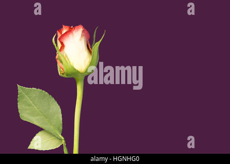 A single rose flower and stem on purple background - Stock Image