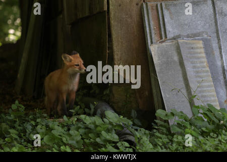 red fox pup near den under old barn Ohio - Stock Image