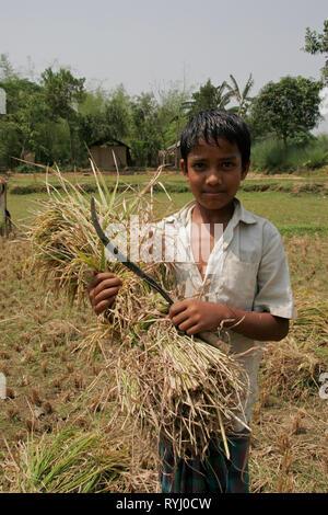 BANGLADESH Boy with harvested rice, Near Mymensingh photo by Sean Sprague - Stock Image