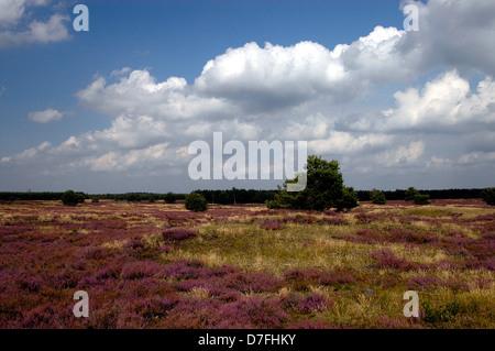 Lüneburg Heath, Lunenburg Heath, Lueneburger Heide, Germany - Stock Image