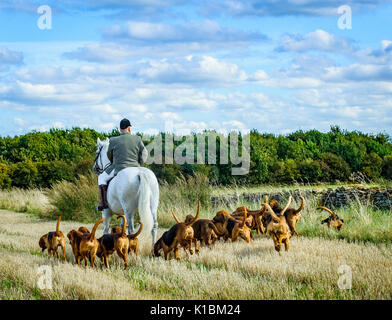 Cranwell Bloodhounds - Hound Exercise and Summer Ride - Stock Image