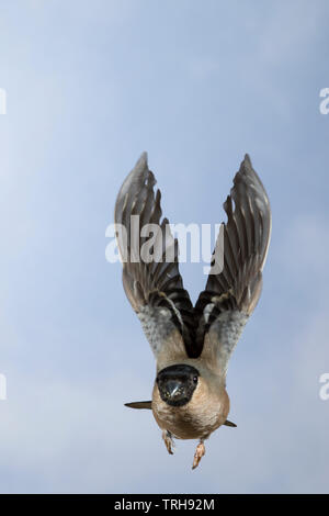 Gimpel, Dompfaff, Weibchen, Flug, Flugbild, fliegend, Pyrrhula pyrrhula, Eurasian bullfinch, bullfinch, female, flight, flying, Bouvreuil pivoine - Stock Image