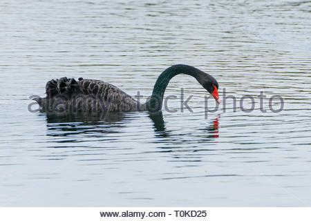 Mute swan (Cygnus olor) Black Swan (Cygnus atratus) - Stock Image